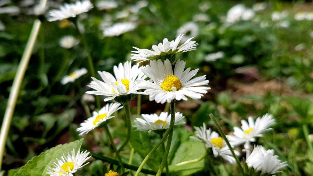 virágzó gyep